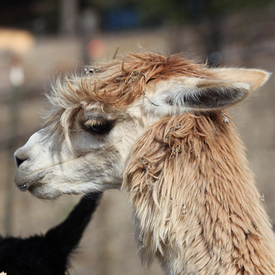 Meet Bernadette, our Suri Alpaca.  Besides providing silky smooth wool, she protects our sheep from predators like coyotes!